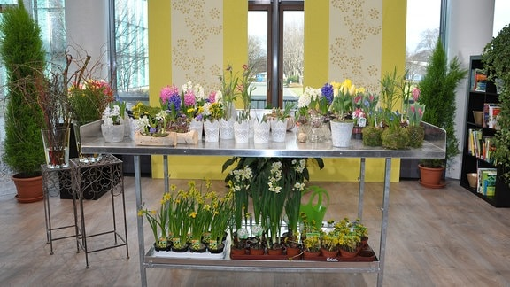 Gartenarbeitstisch im MDR-Wintergarten mit verschiedenen Frühblühern