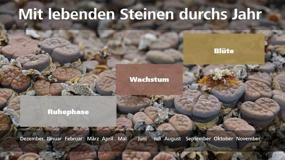 MDR Garten am 19.02.2017: Lebende Steine, Lithops - Wachstum, Blüte, Ruhezeit