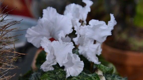 Alpenveilchen mit weißen Blüten.