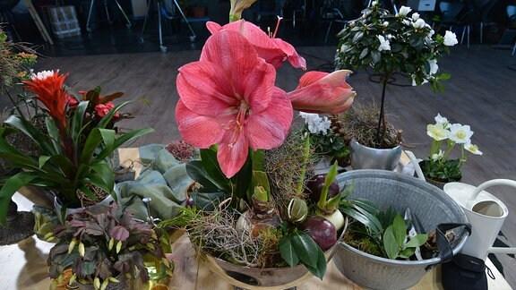 Auf einem Tisch stehen verschiedene Pflanzen. Eine Amaryllis ist dabei, die eine wundervolle Blüte hat.
