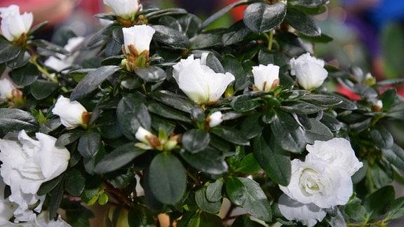 Azalee mit dunkelgrünem Laub und weißen Blüten.