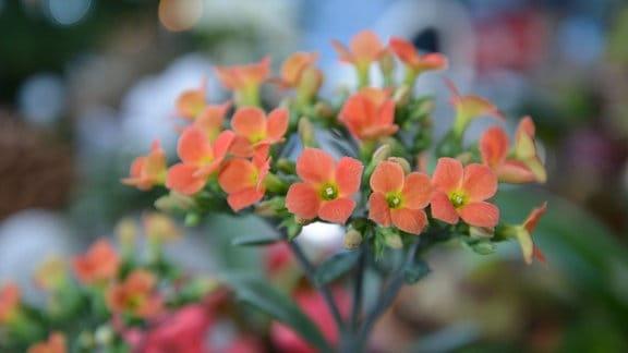 Orangene Blüten einer kalanchoe