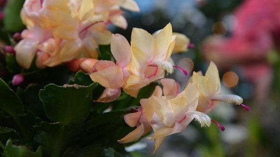 Lachsfarbene Blüten eines Weihnachtskaktus.