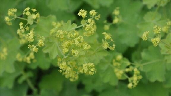 Grün-gelbe Blüten vor grünen Blättern in der Nahaufnahme