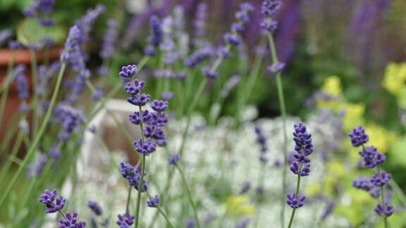 Lilafarbene Blüten in der Nahaufnahme