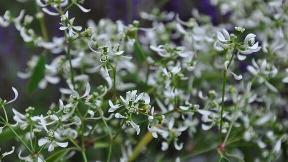 Feine, weiße Blüten im Detail.