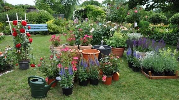 Auf Einer Grünen Wiese Stehen Viele Kübel Und Viele Rosen Sowie Andere  Pflanzen. Im Hintergrund