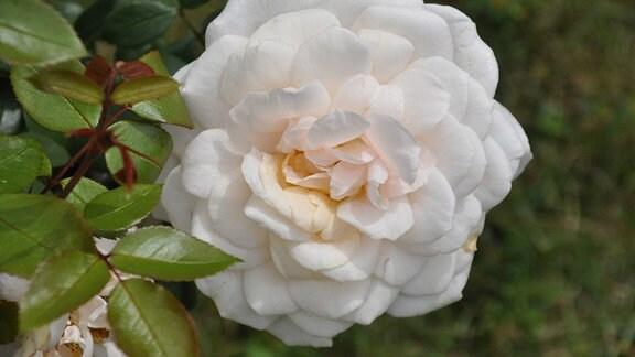 Detailaufnahme einer großen, weißen Rosenblüte.