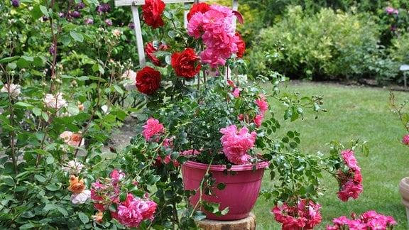 Aus einem pinken Topf rakt eine Rose mit rosa Blüten. Im Hintergrund sind rote und roséfarbene Rosenblüten zu erkennen.