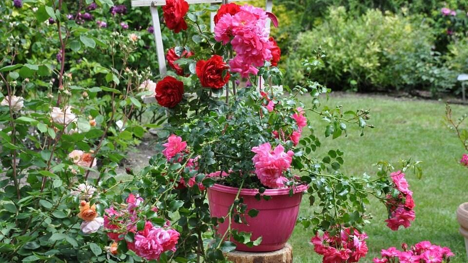 Rosen Im Kubel Unsere Top 3 Und Einige Begleitpflanzen Mdr De