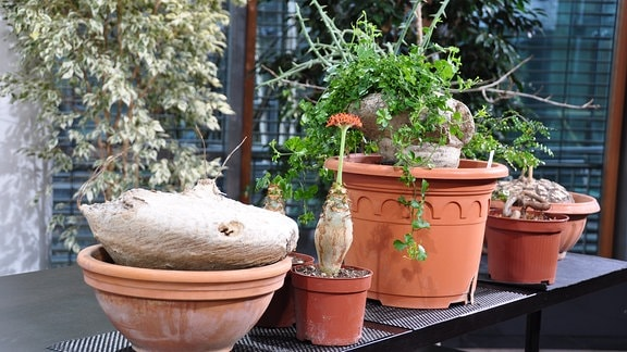 Nahaufname von einem Tisch stehen mit verschiedenen Blumentöpfen mit Caudex-Pflanzen