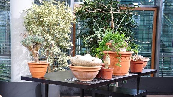 auf einem schwarzen Tisch stehen verschiedene Blumentöpfe mit Caudex-Pflanzen