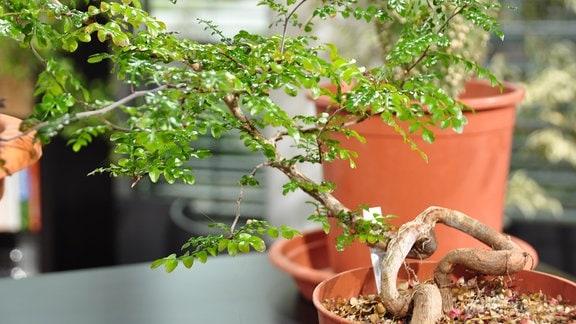 ein krum wachsender Baum in einem Topf mit kleinen, hellgrünen Blättern