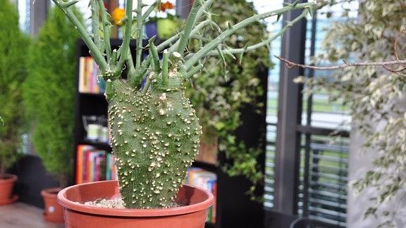 eine grüne Caudex-Pflanze mit Dornen, die an einen Kaktus erinnert