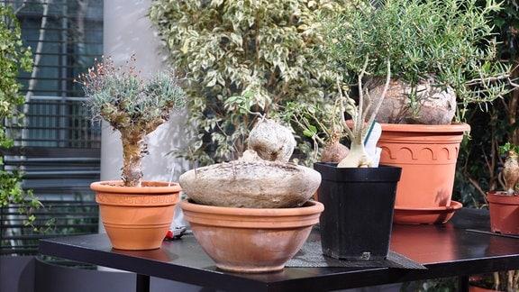 mehrer Caudex-Pflanzen in verschiedenen Varianten stehen auf einem Tisch