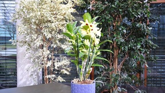 orchideen und ihre wohlf hltemperatur zimmerpflanzen richtig pflegen mdr de. Black Bedroom Furniture Sets. Home Design Ideas