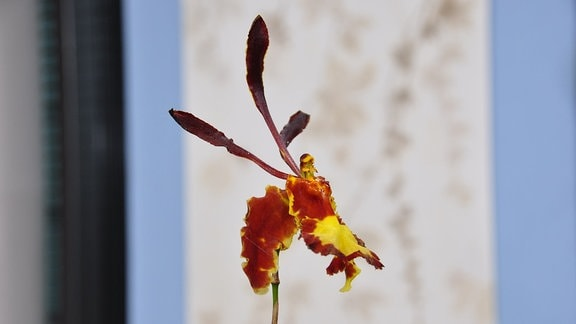 eine dunkelrote Blüte mit einem gelben Farbklecks in Nahaufnahme erinnert an einen Schmetterling