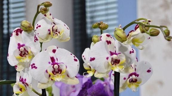 weiße Blüten mit lila Flecken in der Nahaufnahme