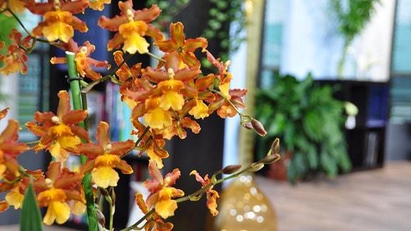 Viel orange-braune Blüten einer Orchidee, die an Herbstlaub erinnern