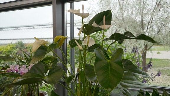 Eine Pflanze mit großen grünen Blättern und großen weißen Blüten steht vor einer Fensterfront.