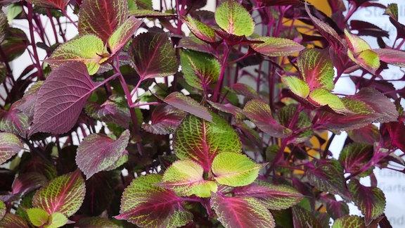 Zahlreiche Blätter in Grün, Pink und Lila.