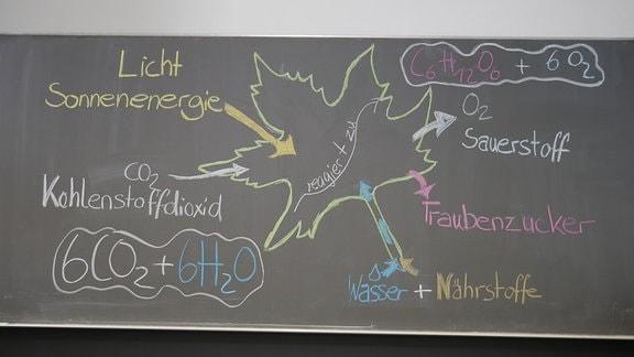 Auf einer Tafel wird anhand eines aufgemalten Blattes die Photosynthese erklärt.