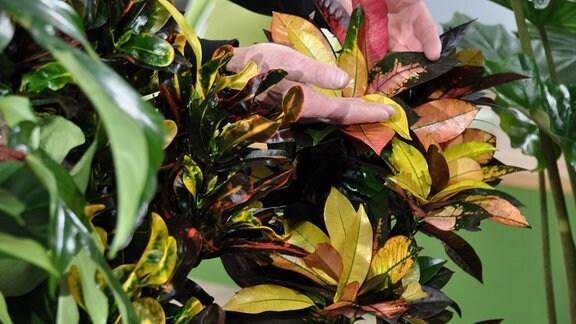 Die bunten Blätter eines Krotons.