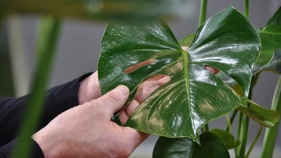 Das große, grüne Blatt einer Monstera.