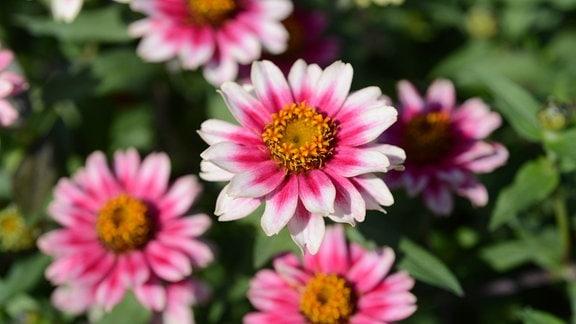 Rosa Blüten einer Zinnie