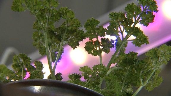 Petersilie wird durch eine Pflanzenlampe beleuchtet.