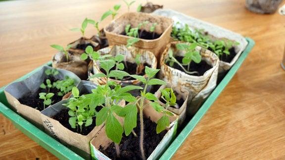 Diverse Pflanzgefäße aus Papier mit schon ausgetriebenen Pflanzen.