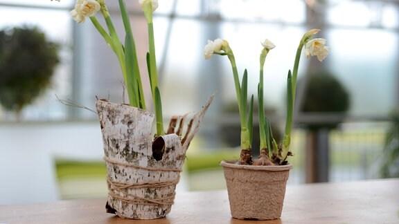 recycelbare Blumentöpfe aus Birkenrinde
