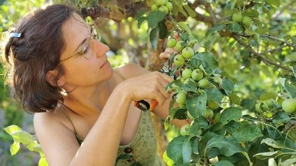 Eine junge Frau schneidet kleine Äpfel an einem Baum ab.