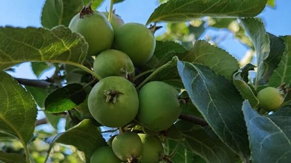 Kleine Äpfel an einem Baum.