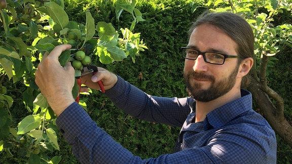 Martin Penzel vom Lehr und Versuchszentrum Gartenbau Erfurt dünnt Äpfel an einem Baum aus.