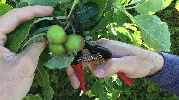 Kleine Äpfel an einem Baum werden mit Hilfe einer Gartenschere ausgedünnt.