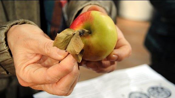 Hände halten einen Apfel mit vertrockneten Blättern am Stiel