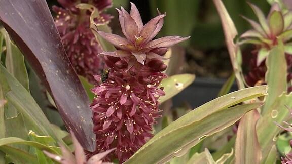 Blüte einer Ananaslilie