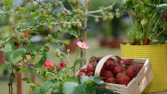 Beerensträucher und Erdbeeren für den Anbau im Kübel