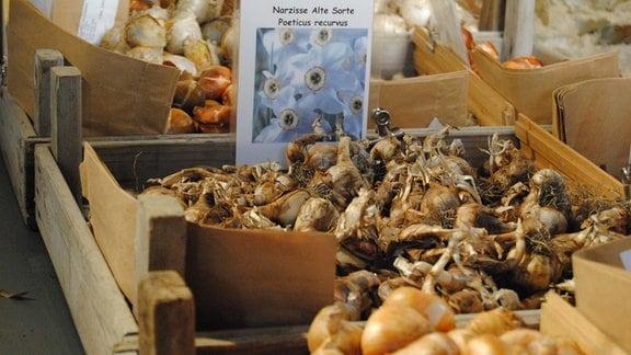 Blumenzwiebeln der Dichter-Narzisse in Holzkiste