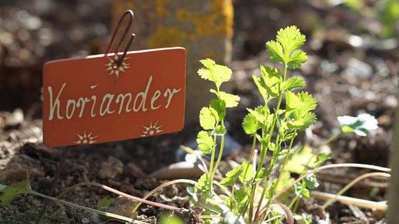 Koriander wächst in einem Beet