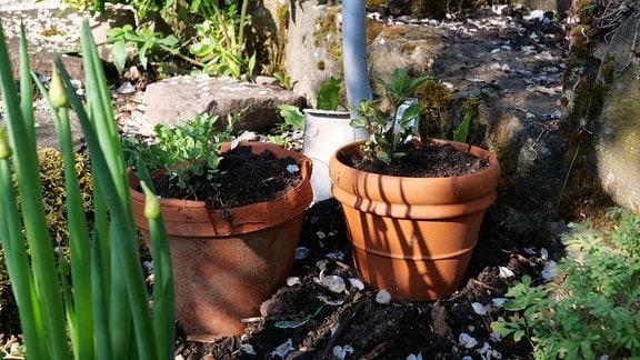 Minze-Pflanzen in zwei Tontöpfen