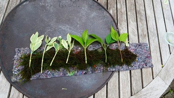 Stecklinge werden auf einen Streifen Filz mit Moos verteilt.