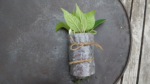 Stecklinge wurden in Filz und Moss wie eine Roulade zusammengerollt.