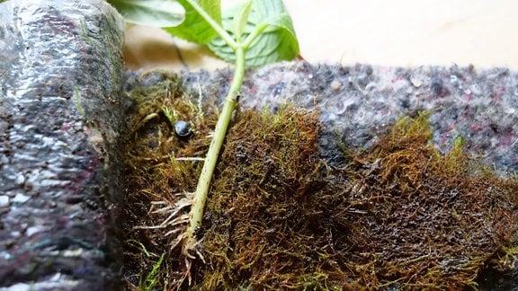 Steckling hat erste Wurzeln gebildet