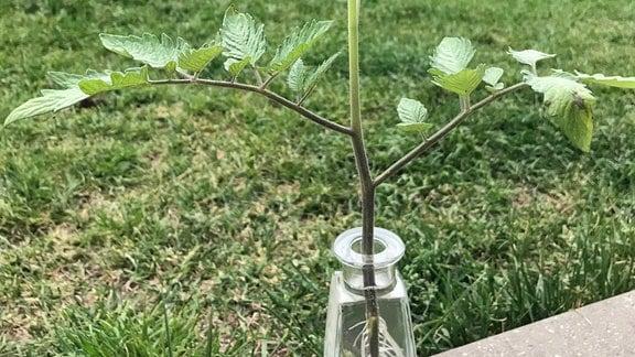 Abgebrochener Trieb einer Tomatenpflanze in Vase