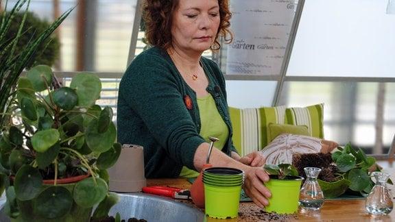 Vermehrung der Ufopflanze über Ableger