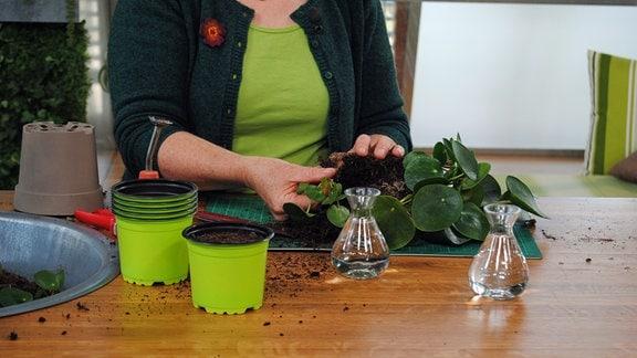 Vermehrung von Ufopflanze über Ableger