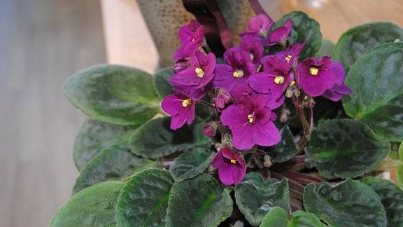 Violett blühendes Usambaraveilchen