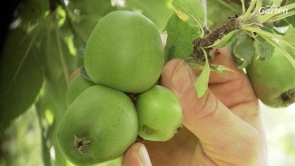 Von mehreren kleinen Äpfeln an einem Fruchtstand werden die kleinsten entfernt, so dass nur zwei Äpfel übrig bleiben.